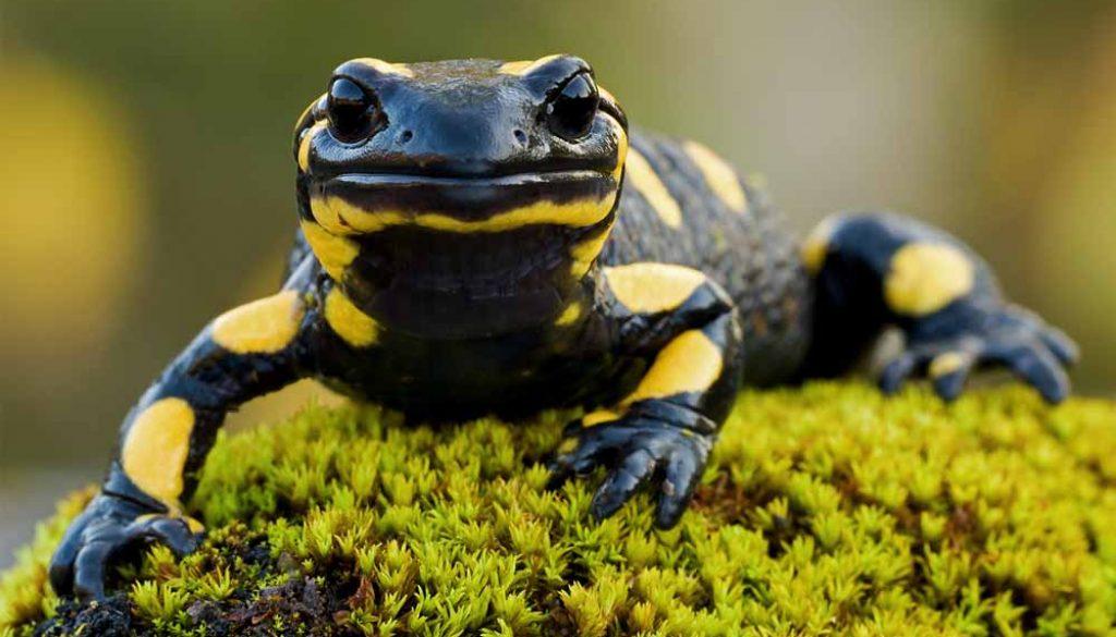 Tudo sobre a Salamandras Salamandra-1024x585
