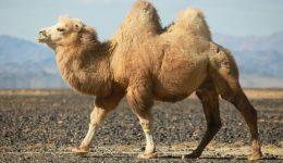 Dono do camelo também estava infectado